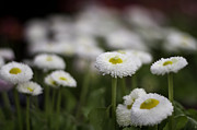 Bellis Prints - Bellis Perennis Print by Lesley Rigg
