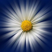 Vivid Color Prints - Bellis Rays Print by John Edwards
