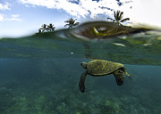 Hawaiian Green Sea Turtle Photos - Below The Surface by Brad Scott