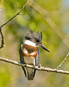 Natural Focal Point Photography Metal Prints - Belted Kingfisher 2 Metal Print by Natural Focal Point Photography