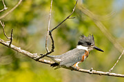 Natural Focal Point Photography - Belted Kingfisher 3