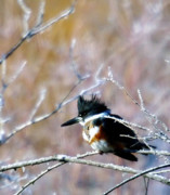 Shore Birds Posters - Belted Kingfisher  Poster by Jeff  Swan