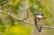 Natural Focal Point Photography - Belted Kingfisher