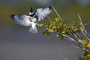 Richard Mann - Belted Kingfisher