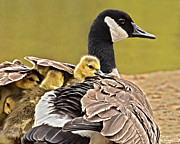 Mother Goose Photo Posters - Beneath Her Wings Poster by Jamie Austin