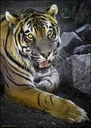 LeeAnn McLaneGoetz McLaneGoetzStudioLLCcom - Bengal and Sumatran Tiger