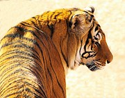 Bengal Tiger In Thought Print by JAXINE Cummins