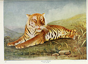 Bengal Painting Framed Prints - Bengal Tiger Framed Print by Unknown
