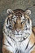 Mammal Framed Prints - Bengal Tiger Vertical Portrait Framed Print by Tom Mc Nemar