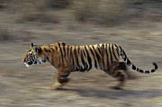 Bengal Tiger Walking  Print by Theo Allofs