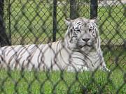 Bengal White Tiger Print by Sonali Gangane
