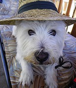 Dogs Mixed Media - Beni On a Hot Summer Day - West Highland White Terrier by Photography Moments - Sandi