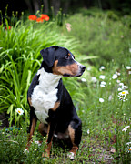 Greater Swiss Mountain Dog Prints - Bennett In The Garden Print by Aaron Aldrich