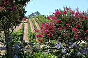 Vineyard Photos - Benziger Winery In The Sonoma California Wine Country 5D24495 by Wingsdomain Art and Photography