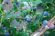 Steve Masley - Berkeley Blueberries