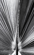 Tree Leaf Photo Prints - Bermuda Palmetto Sabal bermudana Monochrome Print by Tim Gainey