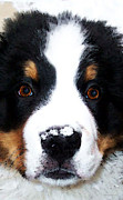 Dogs Digital Art - Bernese Mountain Dog - Baby Its Cold Outside by Sharon Cummings