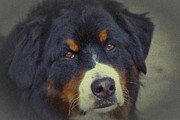 Bernese Mountain Dog Print by Dorothy Pinder