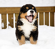 Differences Originals - Bernese mountain dog puppet is yawing widely by Einar Muoni
