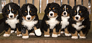 Differences Originals - Bernese mountain dog puppets are finaly home by Einar Muoni