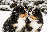 Differences Originals - Bernese mountain dog puppets sniff each others by Einar Muoni