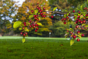 Universities Art - Berries at Forest Akers Golf Course  by John McGraw