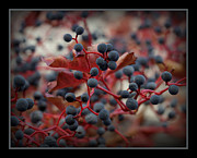 Red Leaves Photos - Berries by Ernie Echols
