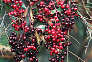 Red Wine Prints Art - Berries by John Rizzuto