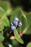 Berries Of Blue Print by Joy Watson