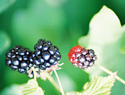 Black Berries Posters - Berry Blue Poster by Cynthia Syracuse