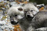 Wolves Photos - Best Friends by Robert Weiman
