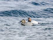 LeeAnn McLaneGoetz McLaneGoetzStudioLLCcom - Best Mates Canvasback Ducks