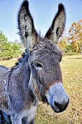 Donkeys Framed Prints - Bet He Gets Good Reception Framed Print by Jan Amiss Photography