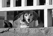 Guard Dog Posters - Beware - Guard Beagle on Duty in Black and White Poster by Suzanne Gaff