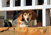 Beagle Photos - Beware - Guard Beagle on Duty by Suzanne Gaff