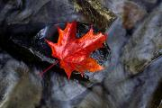 Brookes Framed Prints - B.fuchs Autumn-red Maple Leaf Rests On Framed Print by First Light