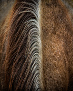 Quarter Horses Posters - Bi-Colored Mane Poster by Tony Bruguiere