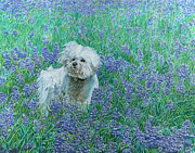 Dominic White - Bichon in the Bluebonnets