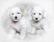 Maltese Dog Posters - Bichon Maltipoo Puppy Dogs Poster by Robert Jensen