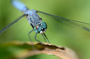 Dragonfly Macro Photos - Big Baby Blues by Fraida Gutovich