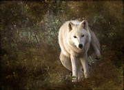 White Wolf Posters - Big Bad Wolf Sprinkling The Grass Poster by Angel  Tarantella
