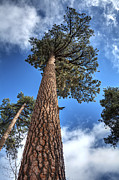 Pine Needles Framed Prints - Big Bear Pine Tree Framed Print by Eddie Yerkish