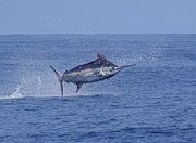 Blue Marlin Photo Metal Prints - Big Blue Metal Print by Carol Lynne