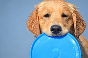 Golden Retriever Photos - Big Blue Smile by Fraida Gutovich