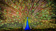 Peafowl Photos - Big Boy by Debra and Dave Vanderlaan
