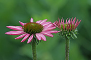 Coneflowers Photos - Big Brother  by Juergen Roth