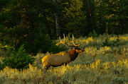 Elk Photos - Big Bull In The Morning Light by Jeff  Swan