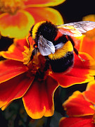 Bumble Bees Posters - Big Bumble Poster by ABeautifulSky  Photography