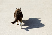Pussycat Photos - Big Cat Ferocious Shadow by James Bo Insogna