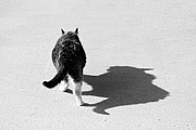 Leader Prints Prints - Big Cat Ferocious Shadow Monochrome Print by James Bo Insogna